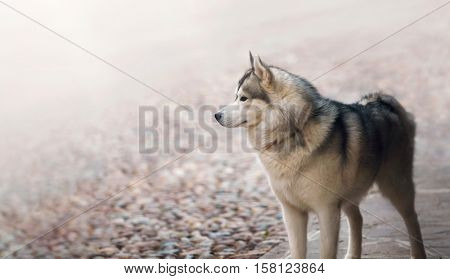 Single dog animal Husky breed standing at street. Domestic pet