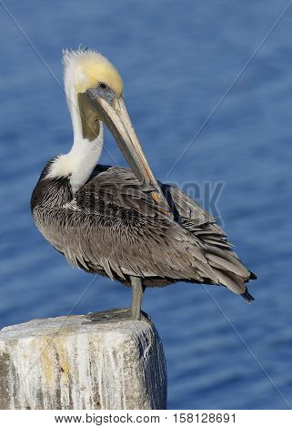 Brown Pelican Preening Its Feathers On A Post - Florida