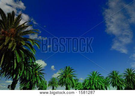 Palm trees blue skies in Perth Western