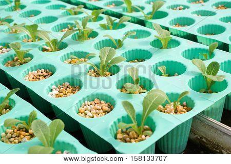 fresh organic plants in hydroponic vegetable field