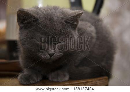 The Little Grey Kitten Fell Asleep On The Table.