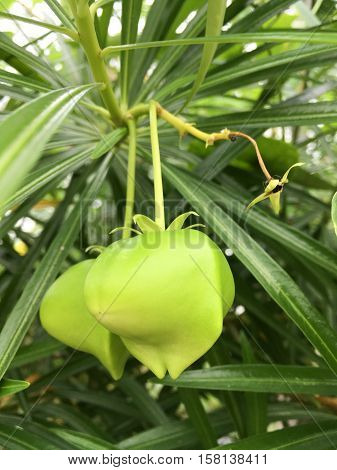 close up green oleander fruit hanging on branch