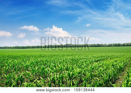 Bright corn field and blue sky with white clouds