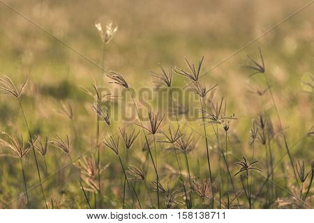 Macro close-up of grass in Western Australian outback - Australia