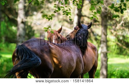Stallion tenderly cares for the human in the Birch Grove