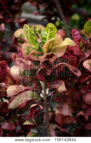 beautiful codiaeum variegatium plants in nature garden