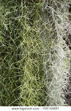 close up tillandsia usneoides plant in nature garden