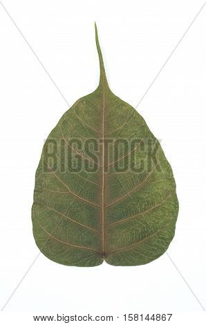 Semi dry leaf isolated detail texture. Heart shape leaf. Piple leaf onwhite back ground. Leaf of perennial plant.