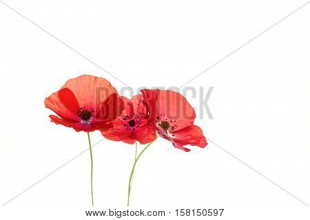 Many species are grown as ornamental plants. The opium poppy is the raw material from which is produced heroin, morphine and opium