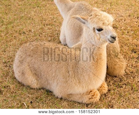 alpaca sti rest and relax in the peaceful farm