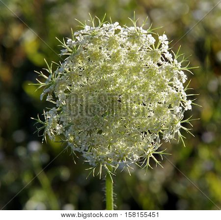 Inflorescence of white flowers of umbrella plant on a meadow