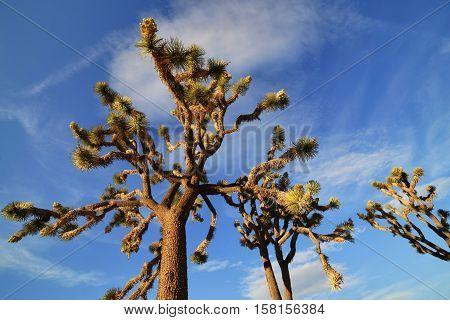 Joshua Trees in the Joshua Tree National Park, USA
