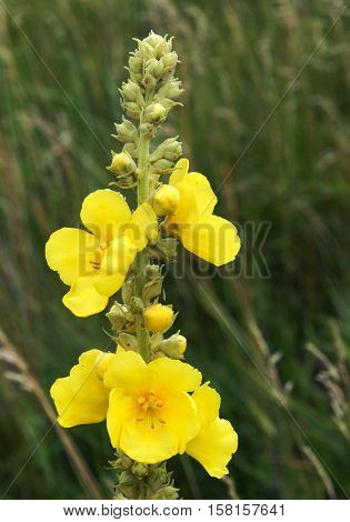 Black mullein or Dark mullein (Verbascum nigrum) inflorescence
