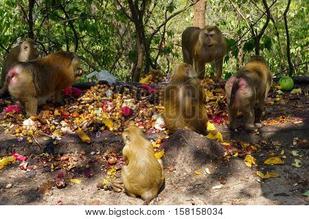 A macaca monkey family eating lot of fruits Phuket Thailand.