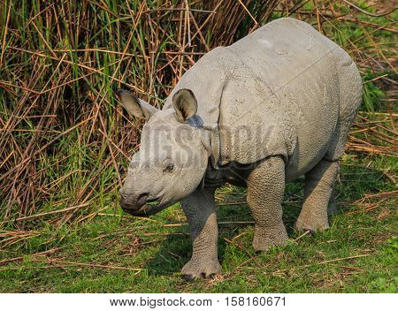 Indian rhinoceros endemic and endangered species list. nature in wildlife