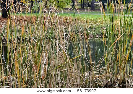 Closeup of the stems of dense bulrush in the city park