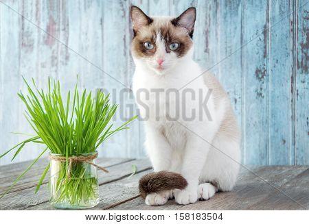 Beautiful cat with feline grass. Cat Grass for cat health. Pet grass. Natural hairball treatment.