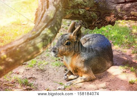 The Patagonian mara (Dolichotis patagonum), a relatively large rodent. Patagonian mara lying under a tree