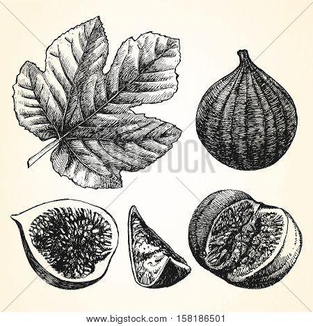 Hand drawn illustration of Figs. Vector illustration.
