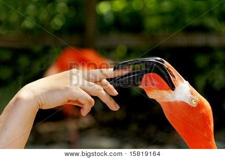 A large pink flamingo biting a woman's finger. poster