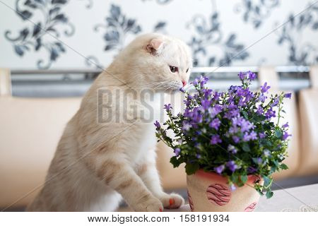 Beige kitten sniffing campanula in a pot in a room