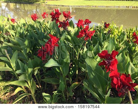 Red Canna flower plant and lake in garden
