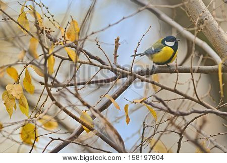 Parus major great tit bird on autumn branch tree