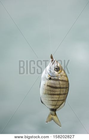 Fish At The End Of Line Of Fisherman's Cane
