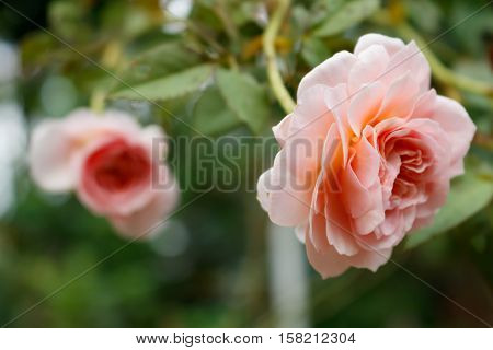 Close-up of Abraham darby rose, English rose breeder by David Austin