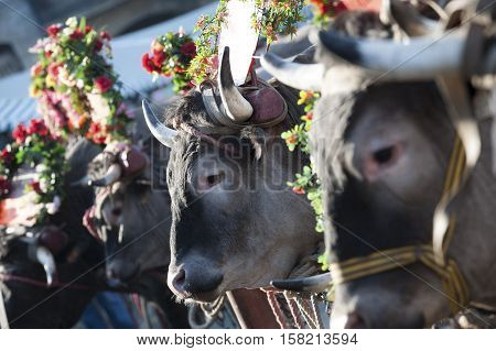 Bazas boeuf with a swinging tail during a traditional festival Bazas France