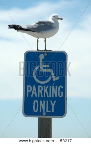 Handicapped Seagull