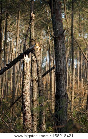 Storm damage. Broken tree in the forest Landes France