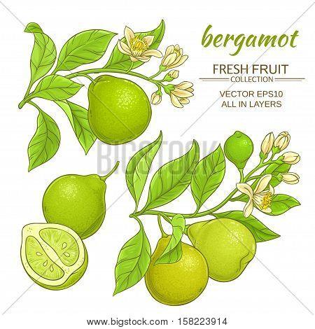 bergamot branches vector set on white background