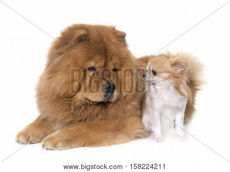 chow chow dog and chihuahua in front of white background