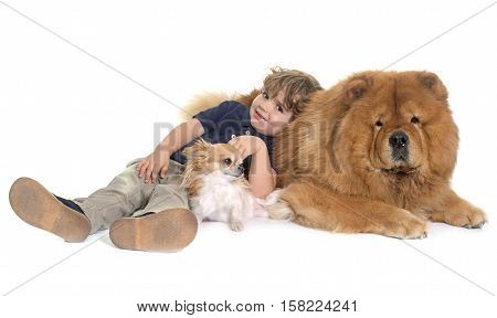 chow chow chihuahua and little boy in front of white background