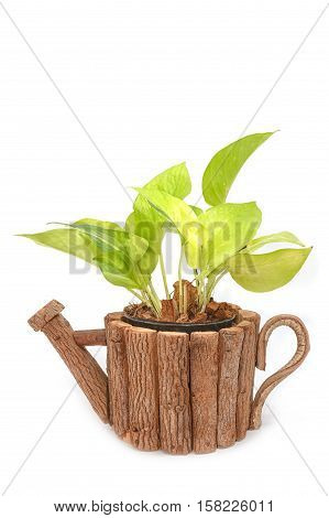 Green houseplant in wooden pot for decoration isolated on white