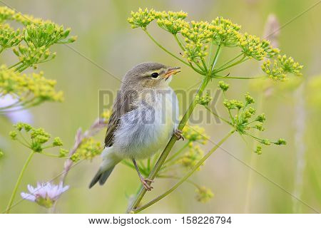 nice bird Warbler sits on green summer grass