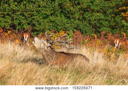 Stag roaring in Richmond Park London, UK