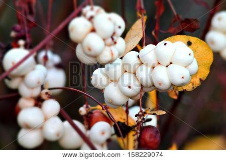Ornamental shrub of david´s milkberry. Snowberry bush. Selected focus.