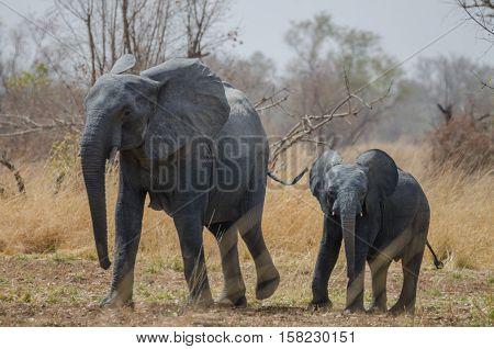 Young small African elephant walking alongside his mother in savannah landscape, Pendjari National Park, Benin, Africa..