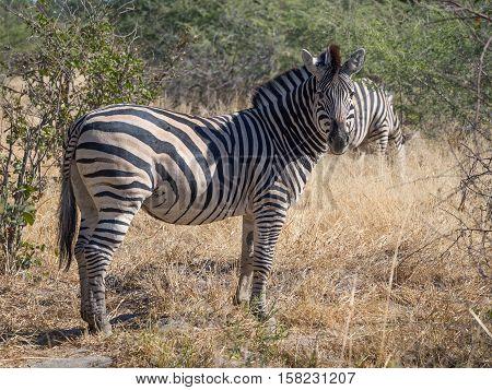 Large zebra surrounded by savannah and bush staring towards the photographer on safari in Moremi National Park, Botswana, Africa