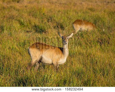 African reed buck antelope calmly grazing in high reed grass in swampy area of Moremi National Park, Botswana, Africa