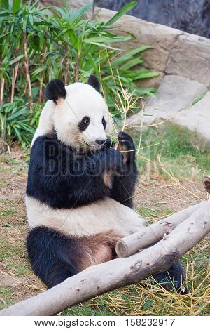Black And White Panda Eats Bamboo Of Hk Ocean Park