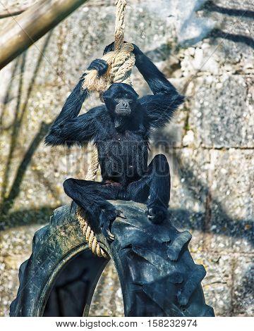 Black Headed Spider Monkey In Zoo Of Besancon