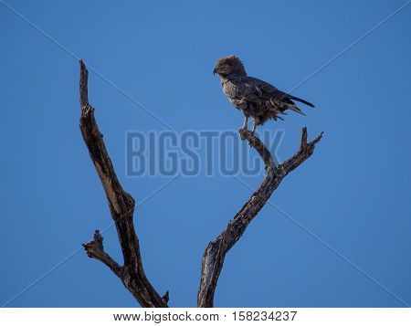 Portrait of African brown snake eagle looking over shoulder sitting on dead tree branch with a lot of blue sky, Safari in Moremi NP, Botswana, Africa.
