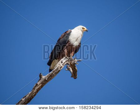 Portrait of African Fish Eagle sitting on dead tree branch with lots of blue sky, Moremi NP, Botswana, Africa.