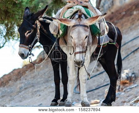 Two beautiful donkeys called Taxi on the steep Lindos Acropolis Mountain, Rhodes Island, Greece