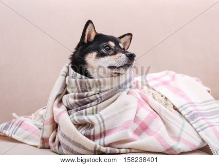 Cute little Shiba Inu dog wrapped in plaid lying on couch at home