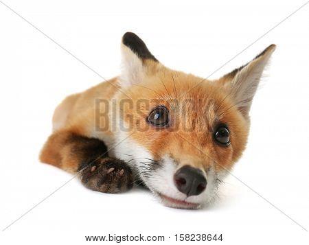 Portrait of cute little fox cub on white background