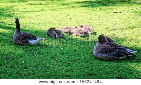 Greylags In Park At Ouse River In York In England